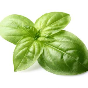 Fresh crown of sweet basil