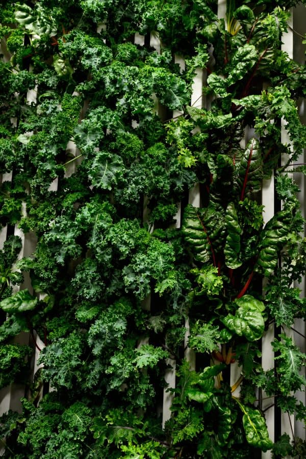 Giant Wall of leafy blue kale and swiss chard