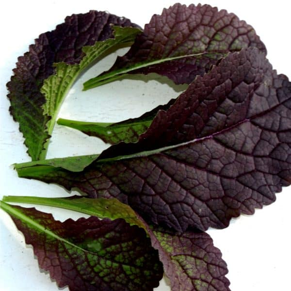 Red Giant Mustard green leafs