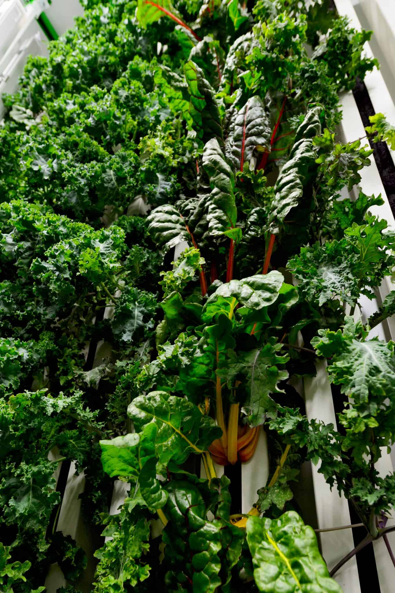 Looking up at a wall of kale and swiss chard inside NuLeaf Farm