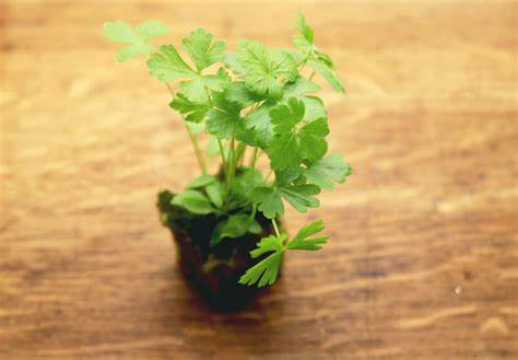 Parsley in a plug on a table