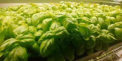 Sweet Basil growing in NuLeaf nursery