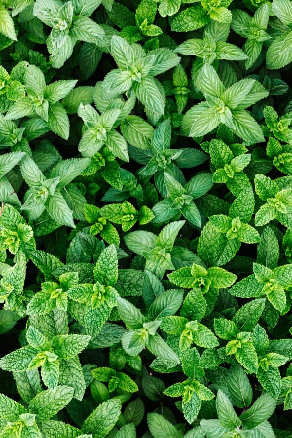 Mint in Bunches