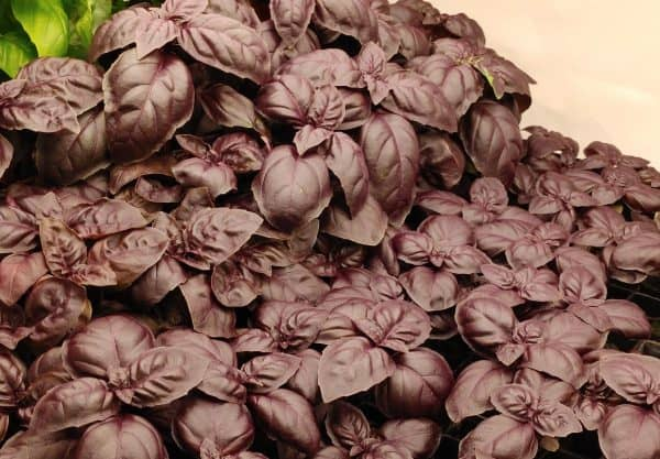 Show people a mat of purple basil